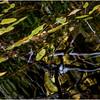 Adirondacks St  Regis Long Pond Abstract Reflection  July 2009