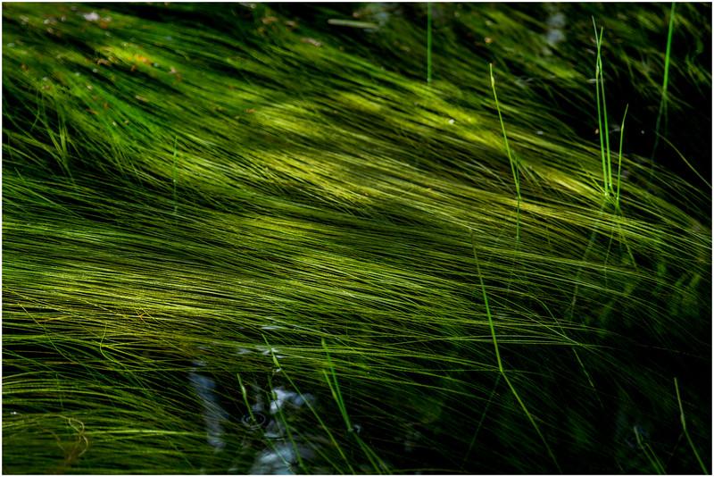 Adirondacks North Branch Moose River Grasses 37 July 2016