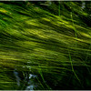 Adirondacks North Branch Moose River Grasses 37 July 2016
