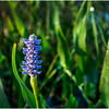 Adirondacks Forked Lake Pickerel Weed 5 August 2016