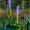 Adirondacks Forked Lake Pickerel Weed 7 August 2016