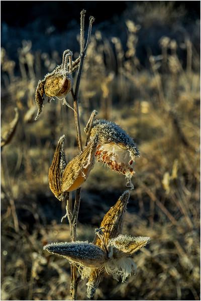 Adirondacks North Creek November 2015 Austin Pond Milkweed Frost 6