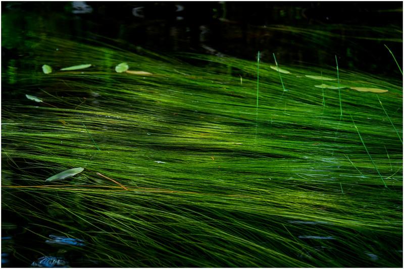 Adirondacks North Branch Moose River Grasses 36 July 2016