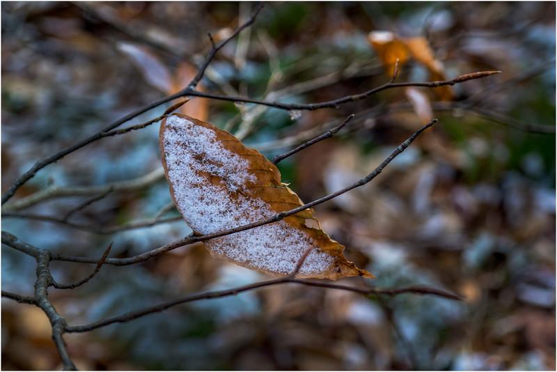 Adirondacks Long Lake November 2015 Leaf on Branch at Sabattis Road 2