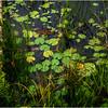 Adirondacks Raquette River Oxbow Lilypads July 2012