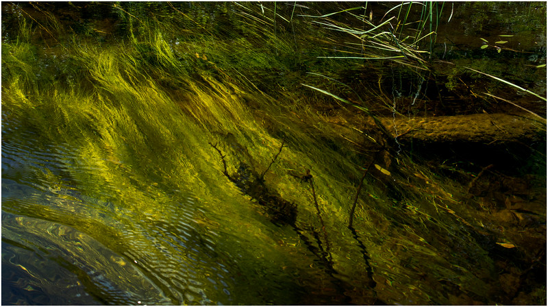 Adirondacks North Branch Moose River Grasses 14 July 2016