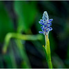 Adirondacks Forked Lake Pickerel Weed 3 August 2016
