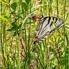 Adirondacks Forked Lake Swallowtail Butterfly 3 June 2019