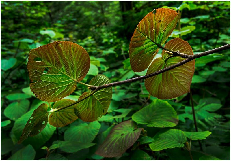 Adirondacks Round Lake Whitney Wilderness Forest Leaves 4 July 2016