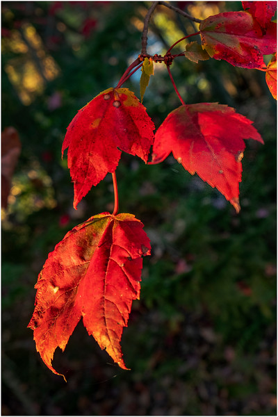 Adirondacks Forked Lake Leaves 4 October 2019