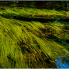 Adirondacks North Branch Moose River Grasses 10 July 2016