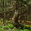 Adirondacks July 2015 Oneil Flow Road Woods Curve Tree