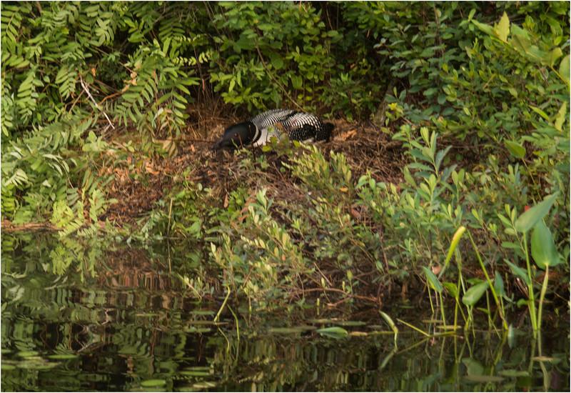 Adirondacks Forked Lake July 2015 Nesting Loon 2