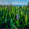 Adirondacks Forked Lake Pickerel Weed 4 August 2016