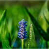 Adirondacks Forked Lake Pickerel Weed 13 August 2016