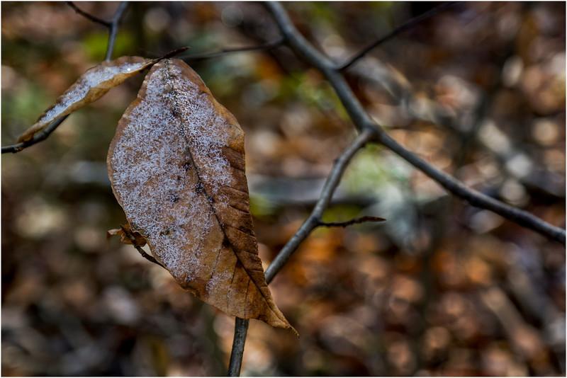 Adirondacks Long Lake November 2015 Leaf on Branch at Sabattis Road 4
