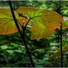 Adirondacks Round Lake Whitney Wilderness Forest Leaves 3 July 2016