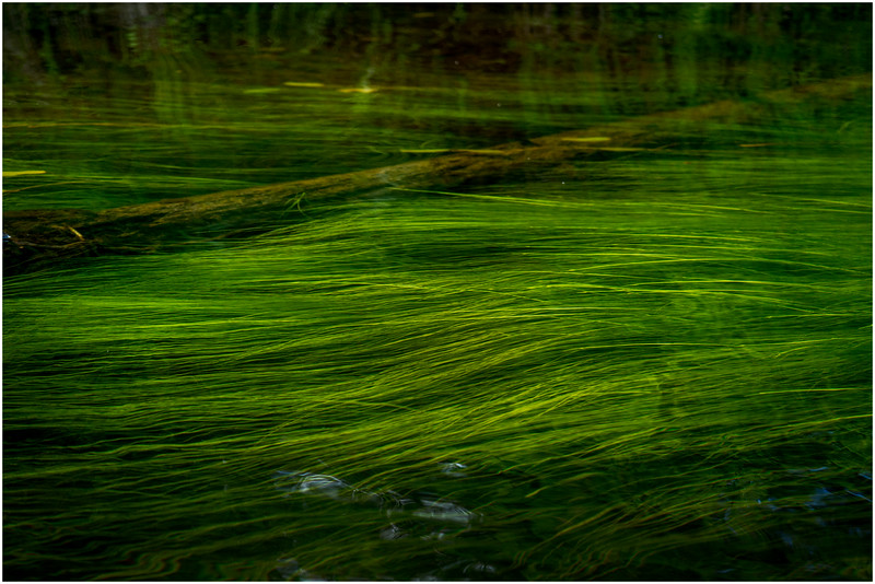 Adirondacks North Branch Moose River Grasses 35 July 2016