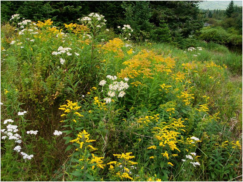 Adirondacks Cedar River Wildflowers near Carry Lean-To July  2009