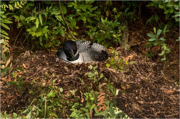 Adirondacks Forked Lake July 2015 Nesting Loon 1