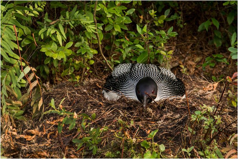 Adirondacks Forked Lake July 2015 Nesting Loon 3
