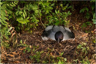 Adirondacks Forked Lake July 2015 Nesting Loon 3.jpg