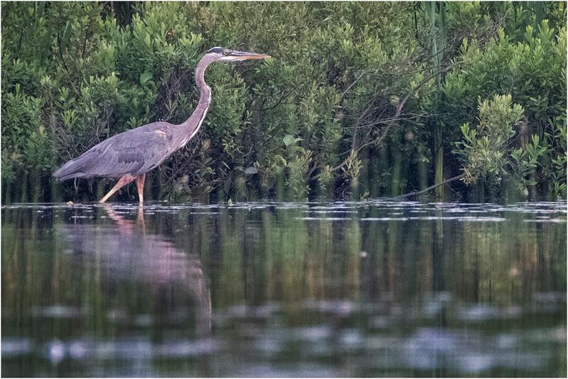 Adirondacks Chateaugay Lake Heron 8 July 2018