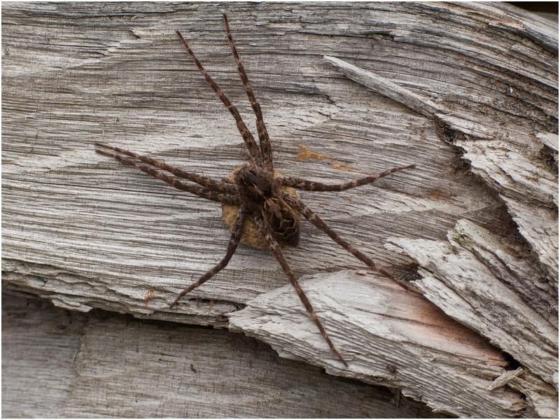 Adirondacks Forked Lake Spider Brandreth Inlet July 2010