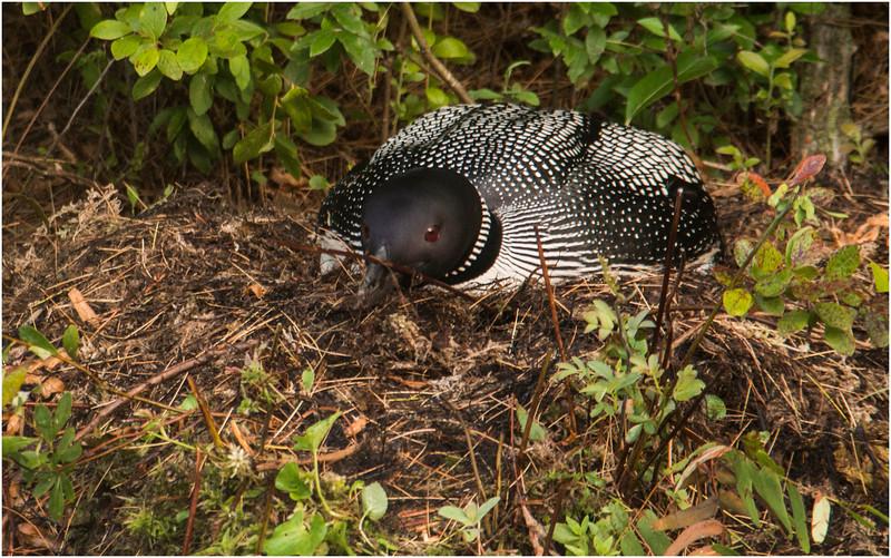 Adirondacks Forked Lake July 2015 Nesting Loon 5