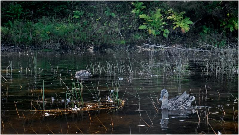 Adirondacks Moose River 17 Ducks September 2019