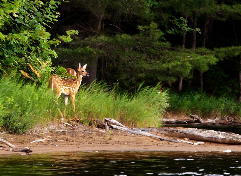 Adirondacks Lows Lake Shoreline with Whitetail Deer Fawn July 2010