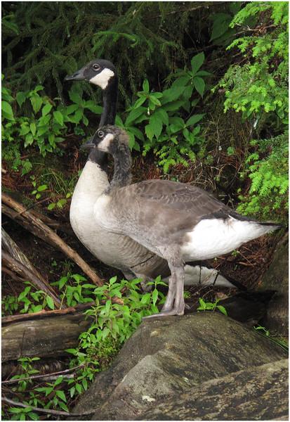 Adirondacks South Pond Baby Canadien Geese 2 July 2011
