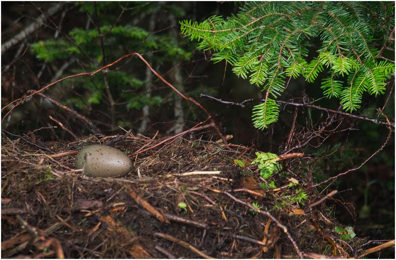 Adirondacks Newcomb Lake Loon Nest with Egg July 2017
