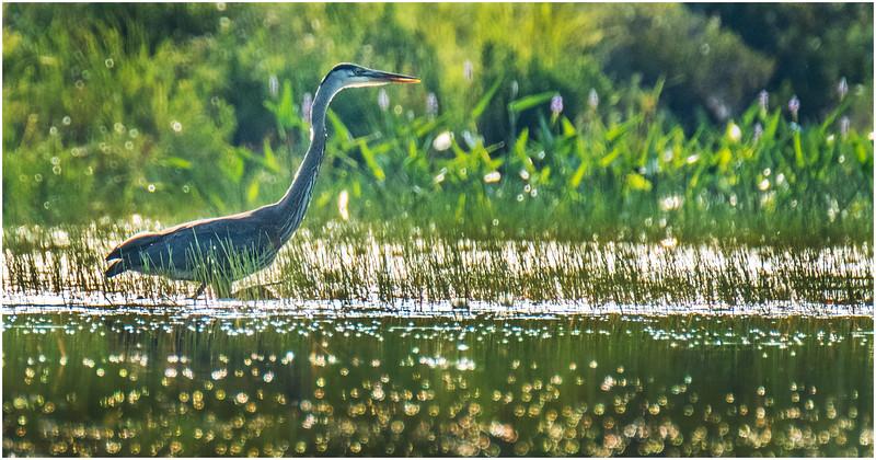 Adirondacks Round Lake Blue Heron 3 August 2019
