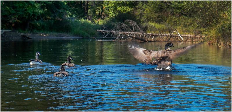 Adirondacks Moose River 3 Geese September 2019