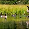 Adirondacks Cedar River Flow Reeds and Canadien Geese July 2009