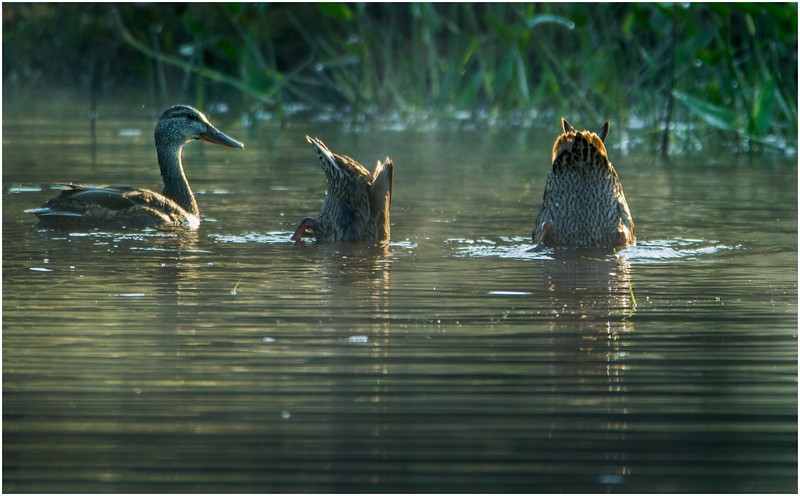 Adirondacks Forked Lake Mallard Family 10 August 2016