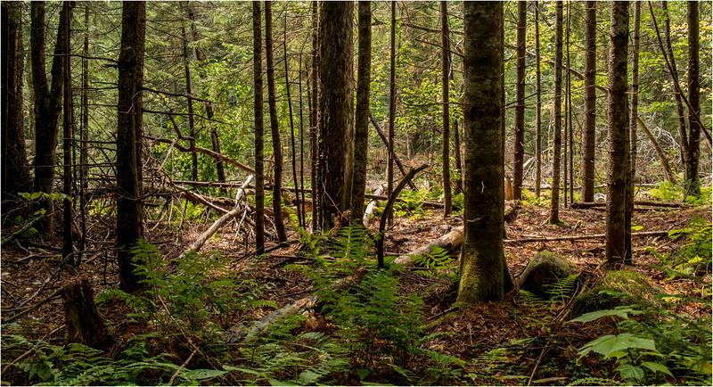 Adirondacks July 2015 Oneil Flow Road Woods 2