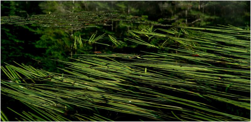 Adirondacks Moose River Grasses 1 July 2016