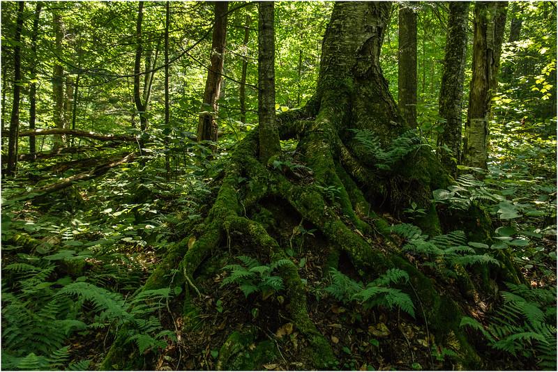 Adirondacks Blue Mountain Lake Cascade Pond Trail Tree Root July 2012