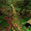 Adirondacks Forked Lake Fallen Log August 2010