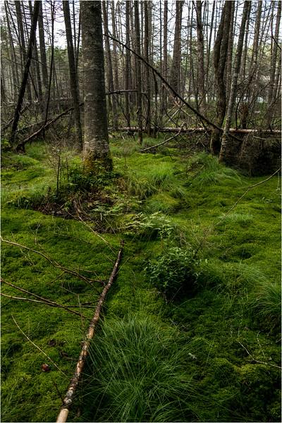 Adirondacks July 2015 Grassy Pond Trail Sphagnum Moss 2