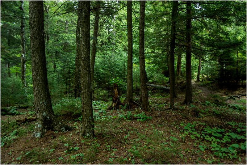 Adirondacks Forked Lake August 2015 Woods Behind Site 8 1