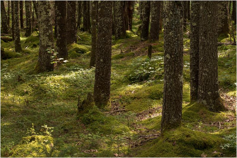 Adirondacks Moose River Recreation Area Woods Near Helldiver Pond 8 July 2012
