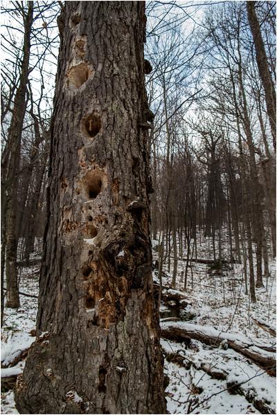 Adirondacks Heart Lake Woodpecker Tree November 2012