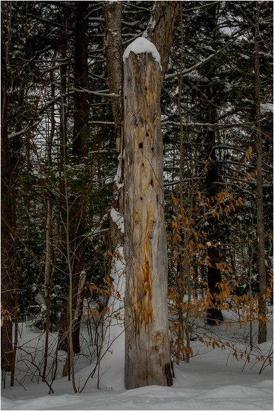 Adirondacks Arietta Woodpecker Tree 2 March 2018