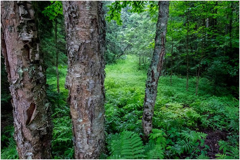 Adirondacks Newcomb Lake Forest 3 July 2017