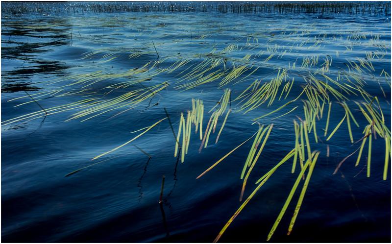 Adirondacks Round Lake Whitney Wilderness Grasses 1 July 2016