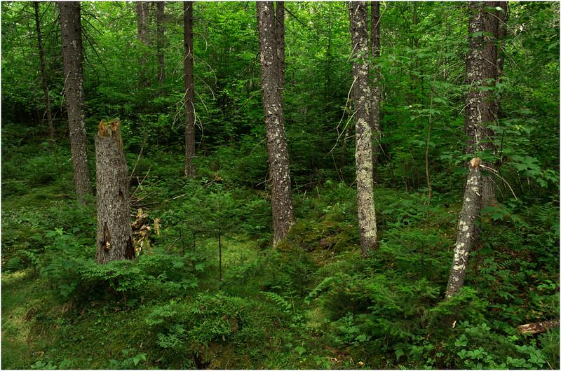 Adirondacks Moose River Recreation Area Woods Near Helldiver Pond 15 July 2012