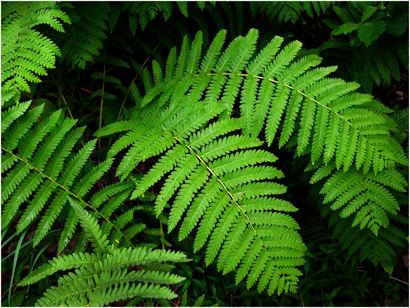 Adirondacks Bliue Mountain Lake Ferns 2 July 2009